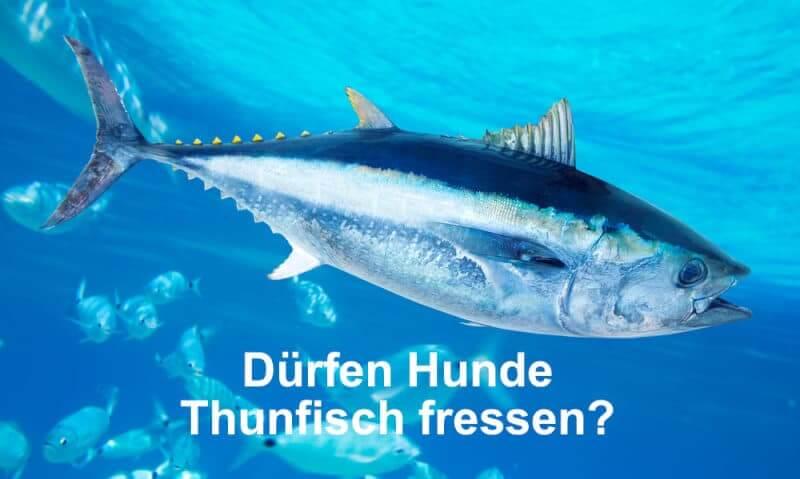 Dürfen Hunde Thunfisch fressen?